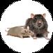 mice-rats